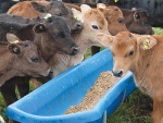 Preparing a heifer well for weaning reduces the likelihood of preferential treatment post-weaning.
