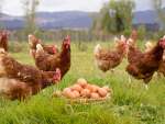 A leading forest free range farm in South Waikato aims to pioneer sustainable egg production in New Zealand.