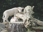 Simplicity is the key to successful orphan lamb rearing.
