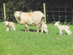 Shelter key to lamb survival