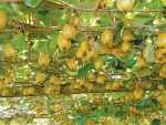 Orchard prices strengthen