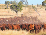 Aussie cattle prices start to take a dip