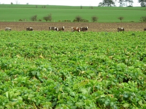 Could feeding cows brassicas help reduce nitrogen loss from the soil? Photo: Iain Thompson.