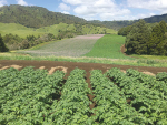 Pressure is going on vegetable growing land from an expanding Auckland.