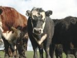 US beef leg conformation causing concern