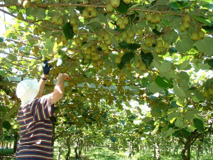 Kiwifruit, one of the main drivers of hort sector's success