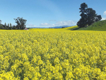 Thousands of hectares of southern farmland is a blaze of yellow as the annual rapeseed crop comes into bloom.
