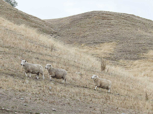 Drought causes fall in sheep numbers