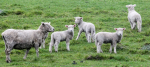 Lower lambing percentage for sheep farmers