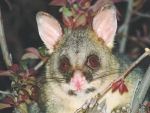 Possums will be targeted in an aerial operation in the Rimutaka Ranges in September.