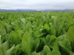 Chicory as summer crop
