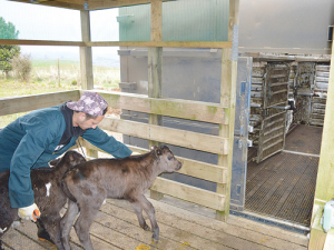 Farms are now required to have proper loading facilities for bobby calves.