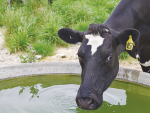 Studies have shown milk production can decrease by 10-20% if sufficient water is not supplied.