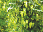 Hops growing at Motueka .SUPPLIED/The New Zealand Institute for Plant & Food Research Limited.