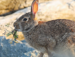 War on rabbits takes next step