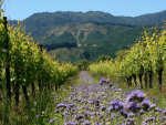 Sustainability and New Zealand Wine