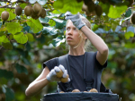 Largest-ever kiwifruit harvest begins
