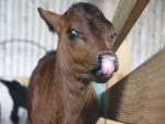 Identifying the breed of a new-born calf could be right on the tip of their tongues.