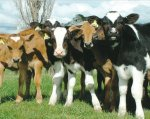 Better cow fertility means more money in the bank