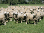 Pneumonia and pleurisy in sheep