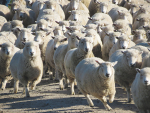 Landcare figures show a methane charge on sheep and beef farmers could cost as much as $120,000 per farm.