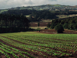 Pukekohe vegetable growers are adapting quickly to Alert Level 4 restrictions.