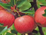 Hastings Orchard fined for illegal agrichemical spray drift