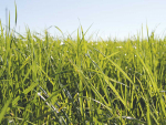 "Barenbrug Agriseeds has made its premium Shogun grass seed available ""at close to cost"" for Southland farmers."
