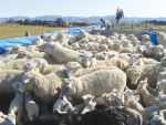 Treating twin-bearing lambs pre-lamb proves beneficial to both ewe and twins' body weights.