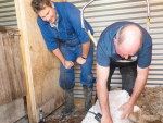 Goat industry pioneer John Woodward shearing his son's Michael's angora goats at Dunsandel, Canterbury.