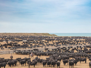 ANZCO's Five Star Beef feedlot on the coast at Wakanui near Ashburton. SUPPLIED/ANZCO