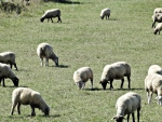 New Zealand's sheep milk industry is set to benefit from new research by AgResearch.