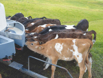 Why imported whey-based milk replacers are suitable for calves
