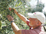 Doubling olive yields possible — research