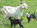 Questions over goat industry report