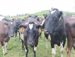 Fodder beet has only recently gained popularity as an important dairy cow winter feed.