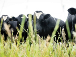 Dairy beef bulls tick all the boxes