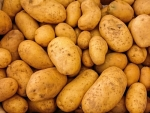 Cadmium-resistant potatoes for NZ growers