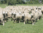 Reducing ewe mortality rates on farm by 2% could result in at least $28 million a year savings to the industry.