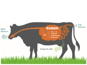 How methane is produced by a cow.