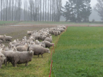 Getting hoggets ready for breeding