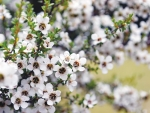Honey from Manuka plant is helping push land prices up in some regions.