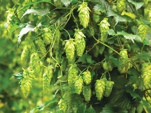 350ha of hops were grown in New Zealand in 2013 and by last year that had risen to 763ha.