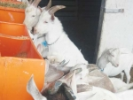 Goat feeders meet growing need