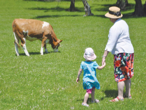 Visitors walk freely among the Simmental cattle at Auckland's Cornwall Park Farm.