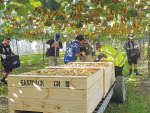 'Living wage' for kiwifruit pickers
