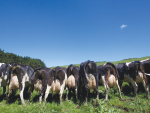 Udders 'not holding up' are trouble in NZ herds – expert