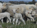 Wool's smell may combat flystrike