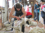 Shearing, crutching and dagging sheep in early summer can lesson the risk of flystrike.