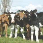 NZVA recommends vaccinating young stock early.